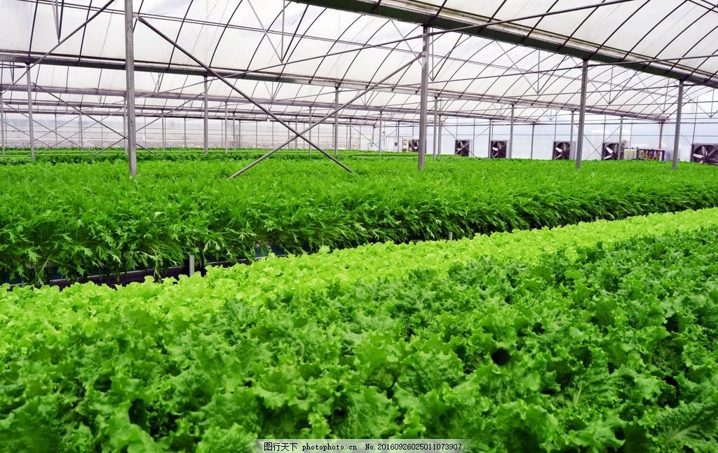 大棚蔬菜 蔬菜基地 菜地 农场 菜园 蔬菜种植 蔬菜地 种菜 农作图片