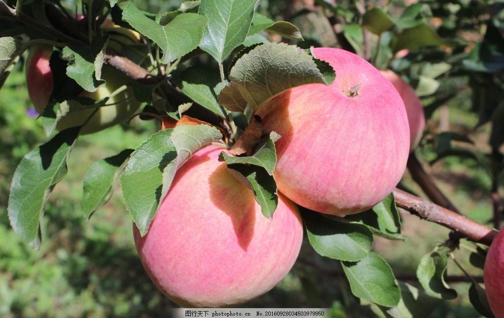 苹果树 苹果 苹果 红苹果 苹果树 水果 果子 树叶 青苹果 新苹红 摄影
