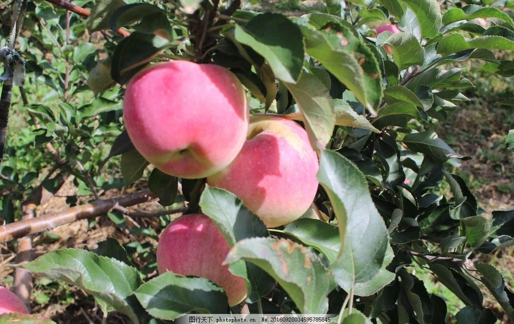 苹果树 苹果 苹果 红苹果 苹果树 水果 果子 树叶 摄影 自然景观 田园