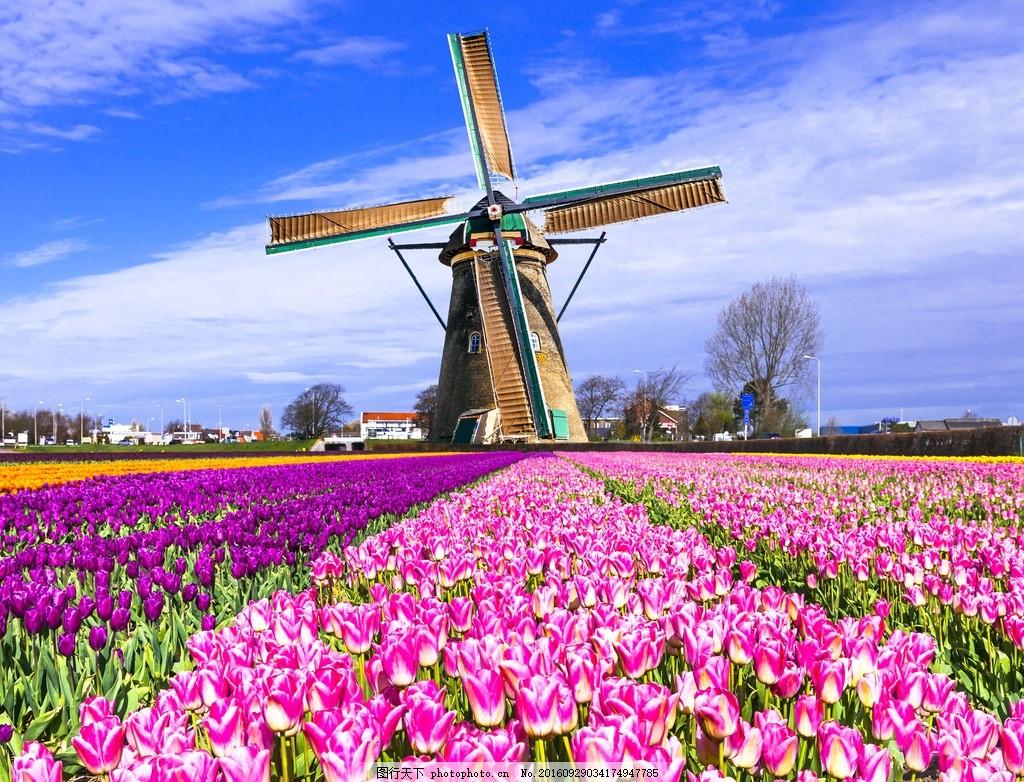 荷兰风车 鲜花 郁金香 粉色鲜花 花海 蓝天白云 蓝天 白云 大风车