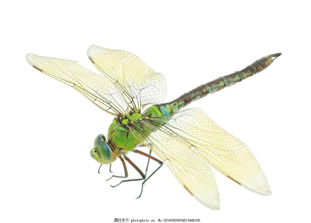 蜻蜓 动物 红蜻蜓 小蜻蜓 红色 节肢动物 花鸟 花鸟虫鱼 蜻蜓特写