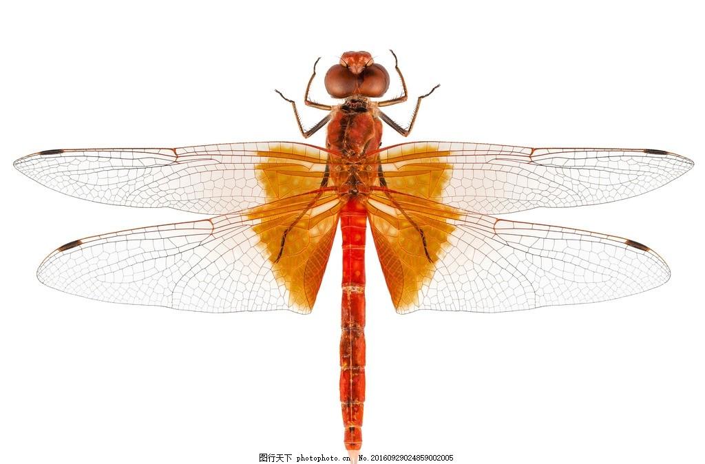 蜻蜓 动物 红蜻蜓 小蜻蜓 红色 节肢动物 花鸟虫鱼 蜻蜓特写