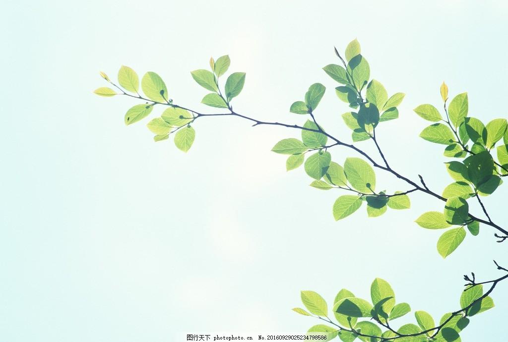 树枝 树叶 绿叶 叶子 叶片 树干 摄影 花草植物树木图片