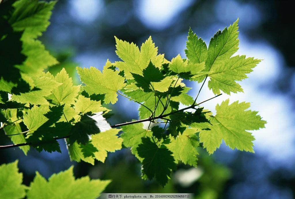 树叶 绿叶 叶子 叶片 树枝 树干 树木树叶 摄影 素材 花草植物树木