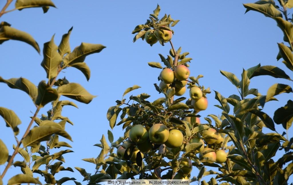 苹果树 果园 采风 风景 乡村 摄影 生物世界 水果 300dpi jpg
