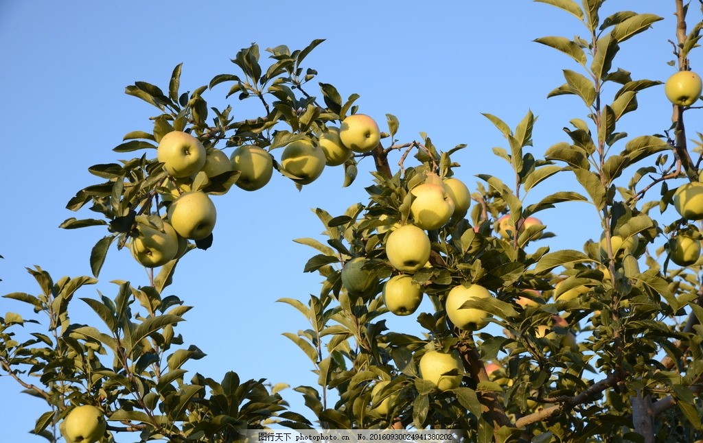 苹果树 果园 采风 风景 山村 摄影 生物世界 水果 300dpi jpg