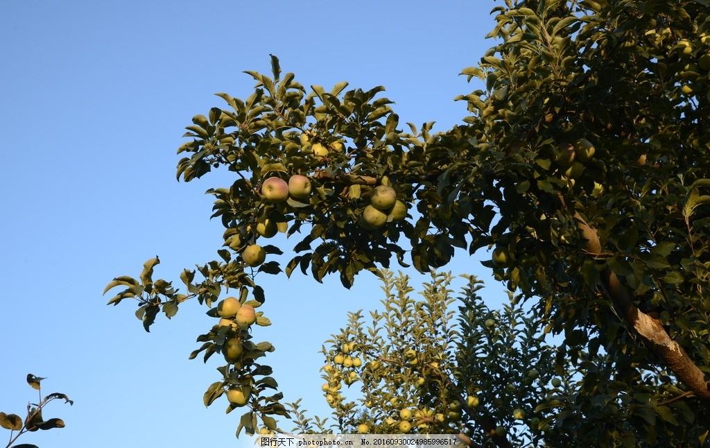 苹果树 果园 采风 风景 山村 摄影