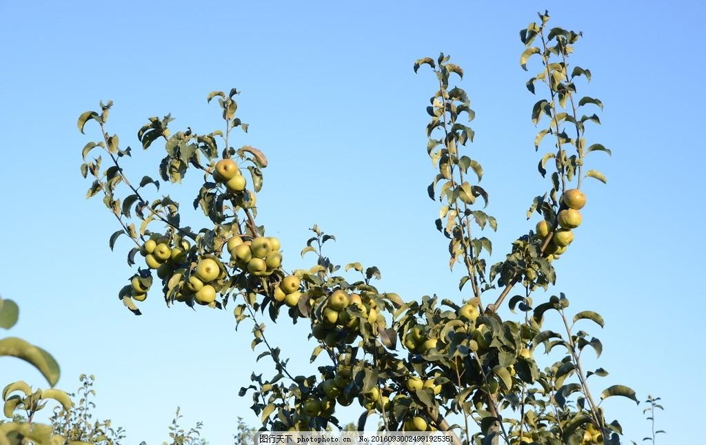 苹果树 果园 采风 风景 果树 丰收 摄影 生物世界 水果 300dpi jpg